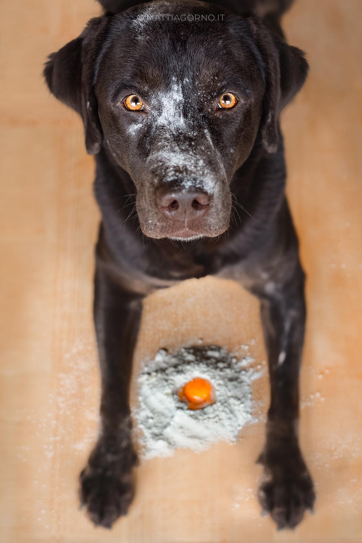 Labrador chocolate maschio ritratto uova e farina